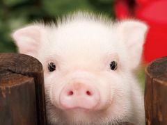 小猪图片大全可爱