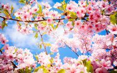 樱花图片唯美图片