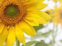 好看的微信头像向日葵