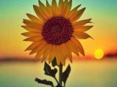 微信头像向日葵