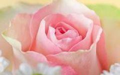 微信头像花朵玫瑰