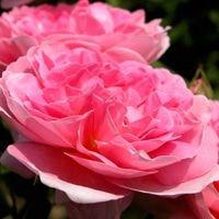 最好看的微信花朵头像图片