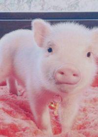 猪照片大全可爱