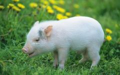 猪可爱图片