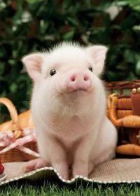 可爱猪的照片图片