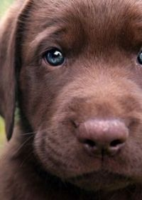 可爱小狗照片拉不拉多犬