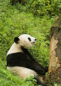 熊猫照片大全可爱