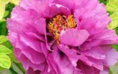微信头像牡丹大花朵图片