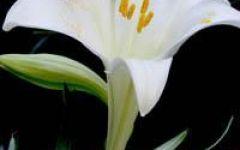 微信头像百合花朵图片