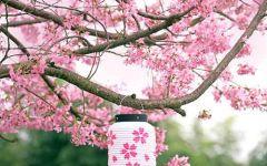樱花唯美风景图片大全