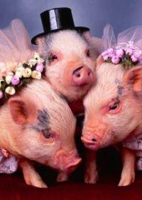 可爱猪的照片 搞笑图片