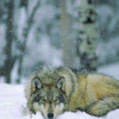 狼qq头像图片图片