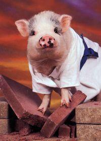 可爱猪照片