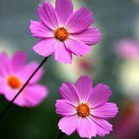 微信头像花朵高清图片