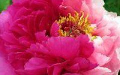 红牡丹微信头像图片