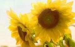 微信头像太阳花图片