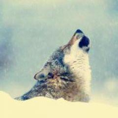 狼的qq头像图片