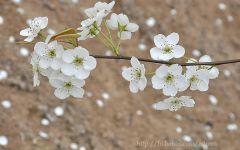梨花飘落唯美瞬间图片