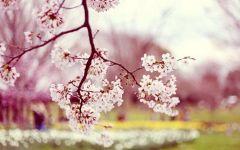樱花图片唯美
