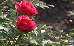 微信头像红色牡丹花