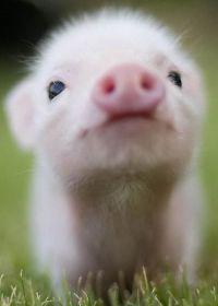 超可爱的小猪图片
