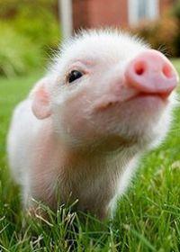 可爱小猪图片真实
