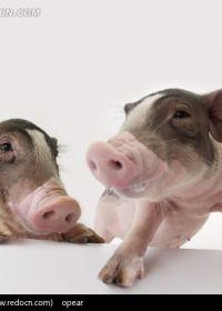 两只可爱小猪图片