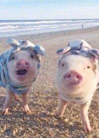 搞怪猪图片大全可爱