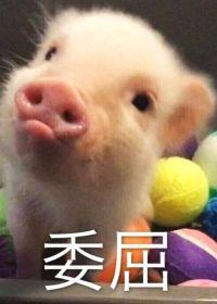 小猪照片可爱表情图片大全