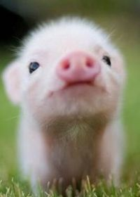 小猪照片可爱图片大全