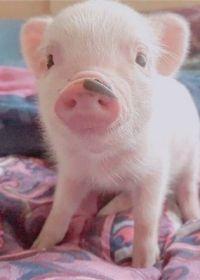 萌猪头像可爱图片
