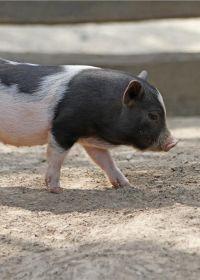漂亮猪的图片大全可爱图片