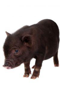 黑猪可爱图片大全可爱