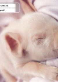 睡觉小猪图片大全可爱图片