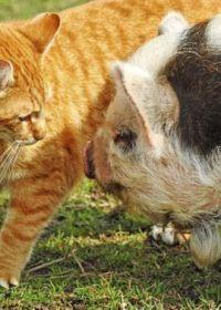 荷兰小猪可爱图片大全