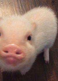 壁纸猪头可爱图片