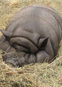 胖猪可爱图片