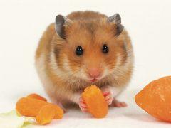 小仓鼠可爱图片