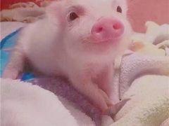 猪猪头像可爱图片