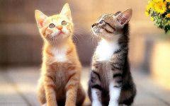 两只猫咪图片情侣
