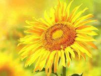 微信头像向日葵女孩图片