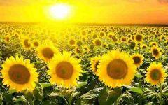 微信头像是向日葵