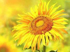 微信头像向日葵带阳光