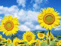阳光下向日葵微信头像唯美