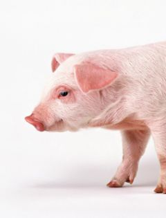 猪的表情包无字图片大全
