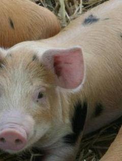 猪喝酒表情包图片大全