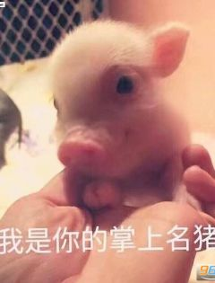 猪表情包带字图片