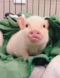 猪图片表情包