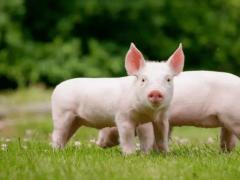 狗和猪爱情图片