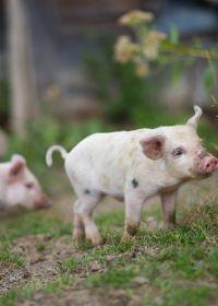 萌萌小猪图片大全可爱图片